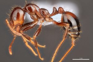 Profile view of a fire ant