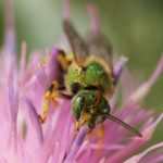 Close-up of an emerald-green native bee digging into a purple flower for pollen and nectar