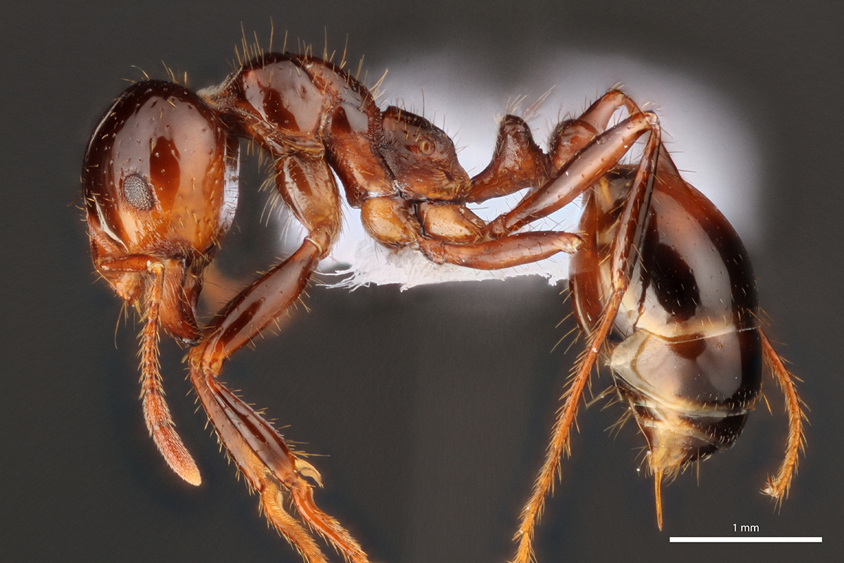 Close-up of the profile view of an ant species