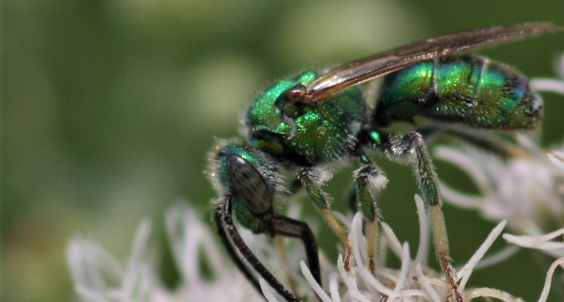 An emerald-green native enjoying some nectar from a white flower