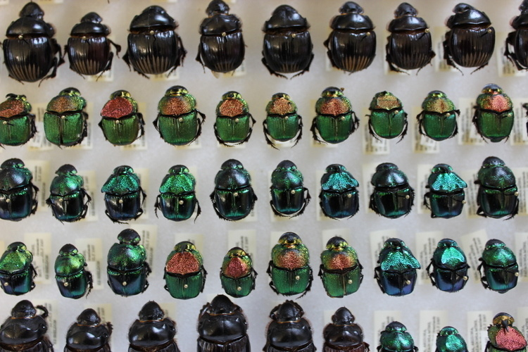 A collection of various beetles ranging from black to blue to emerald green